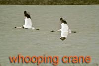 2 Whooping Cranes in flight