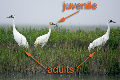 Juvenile and Adult Whooping Cranes