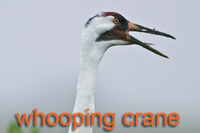 Whooping Crane head