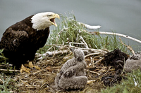 Bald Eagle in nest with hatchling calling