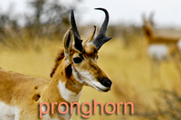 Closeup of Pronghorn