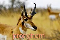 Closeup of Pronghorn
