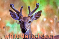 White-tailed deer in velvet