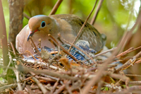 dove in nest
