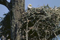 Bald Eagle in huge nest