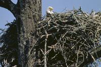 Bald Eagle in huge nest