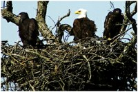 Bald eagle with juvenile eagles in nest