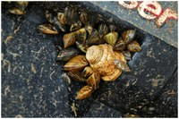 Zebra mussels on boat motor