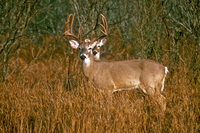 another deer behind white-tailed deer