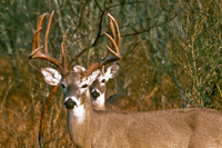closer look at deer behind the buck