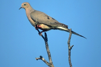 dove perched in a tree