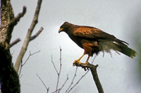 Harris hawk in tree top