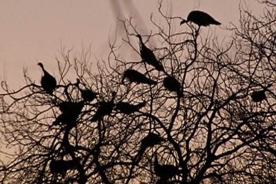 Turkeys roosting in a tree