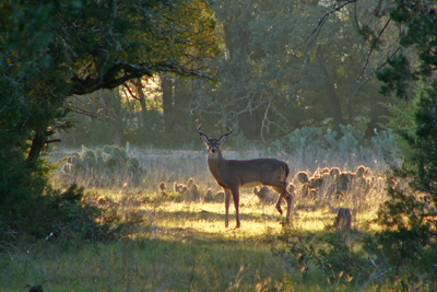 White-tailed deer in woodland clearing