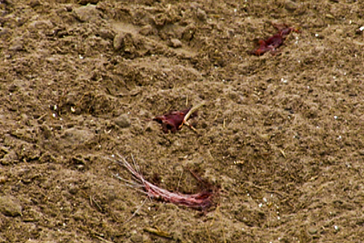 Blood and hair in grass