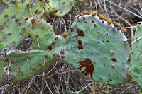 Blood on cactus pads