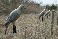 Dove decoys posted on a fence