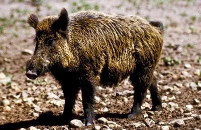 Feral Hog, image TPWD