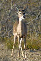 Head on angle of White-tailed doe