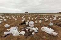 Rag goose hunting spread