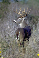 Rear end view of White-tailed buck