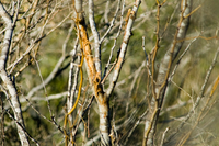branches with bites and rubs