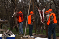 hunters cleaning hanging deer