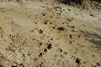 Animal tracks in the dirt