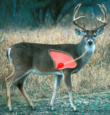 Shots to the vital areas texas parks wildlife department image of white tailed deer buck indicating vital area ccuart Choice Image