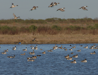 Canada Geese at South Padre Island