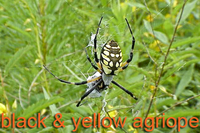 Black and yellow Agriope
