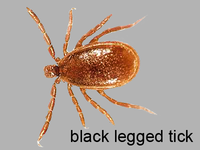 Black legged tick, male
