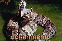 Cottonmouth snake (A.p. Luecostoma)