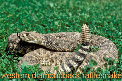 Western Diamondback snake coiled