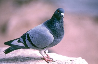 Pigeon_632.2_2.jpg