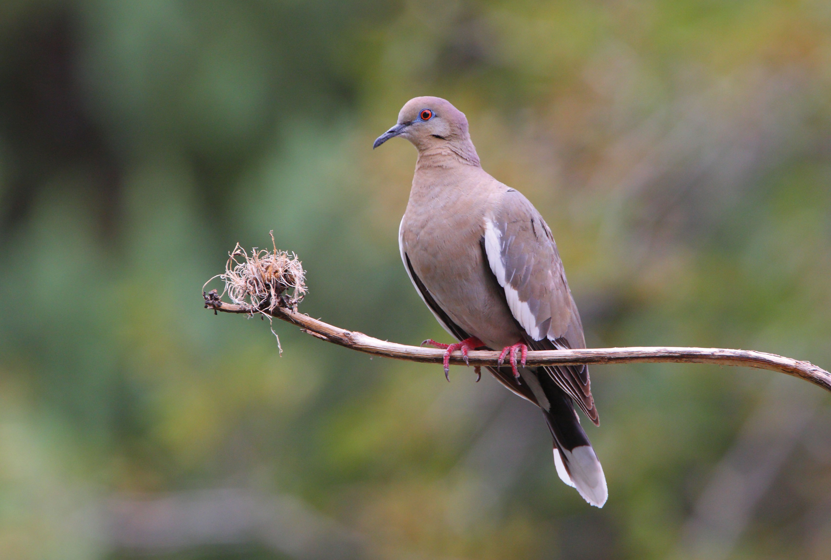 White-winged Dove pic 2.jpg