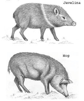Javelina and Hog