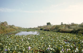 Water Hyacinth cover