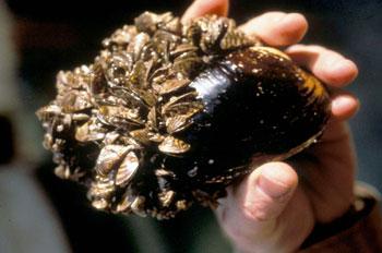 Zebra Mussels - USFWS