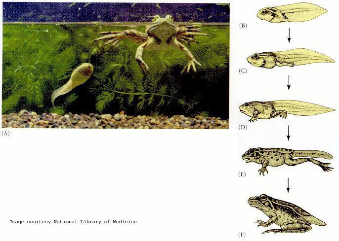 Frog - Tadpole