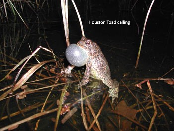 Houston Toad Calling