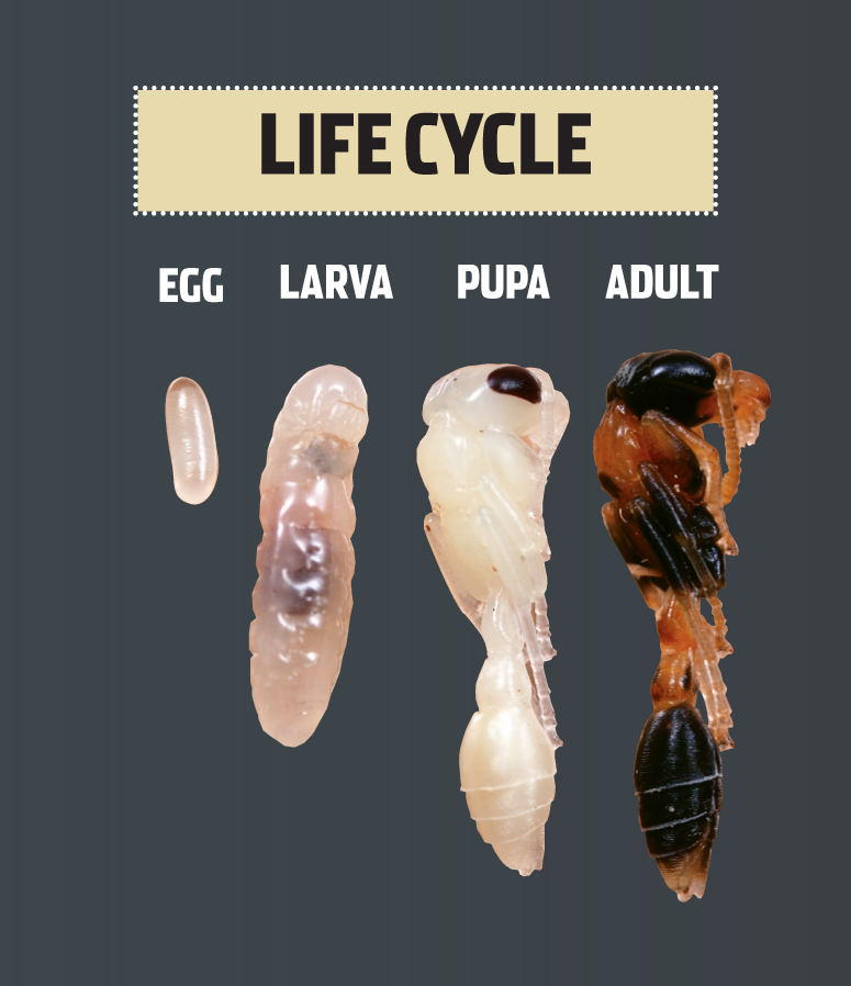 The complete Life Cycle of an Ant antARK  Learn about Ants