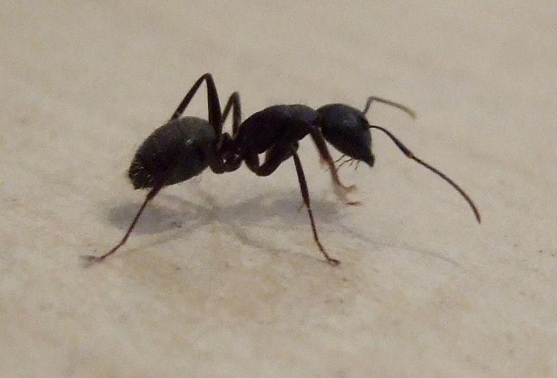big black ant - photo #33