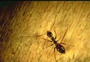 Black Crazy Ant