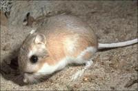 Gulf Coast Kangaroo Rat