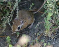 Another Kangaroo Rat