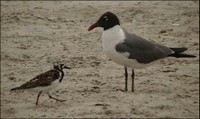 Laughing Gulls 2