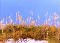 Another Sea Oats