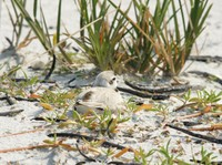 Another Snowy Plover