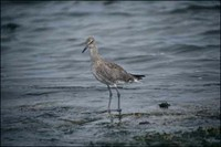 Another Willet
